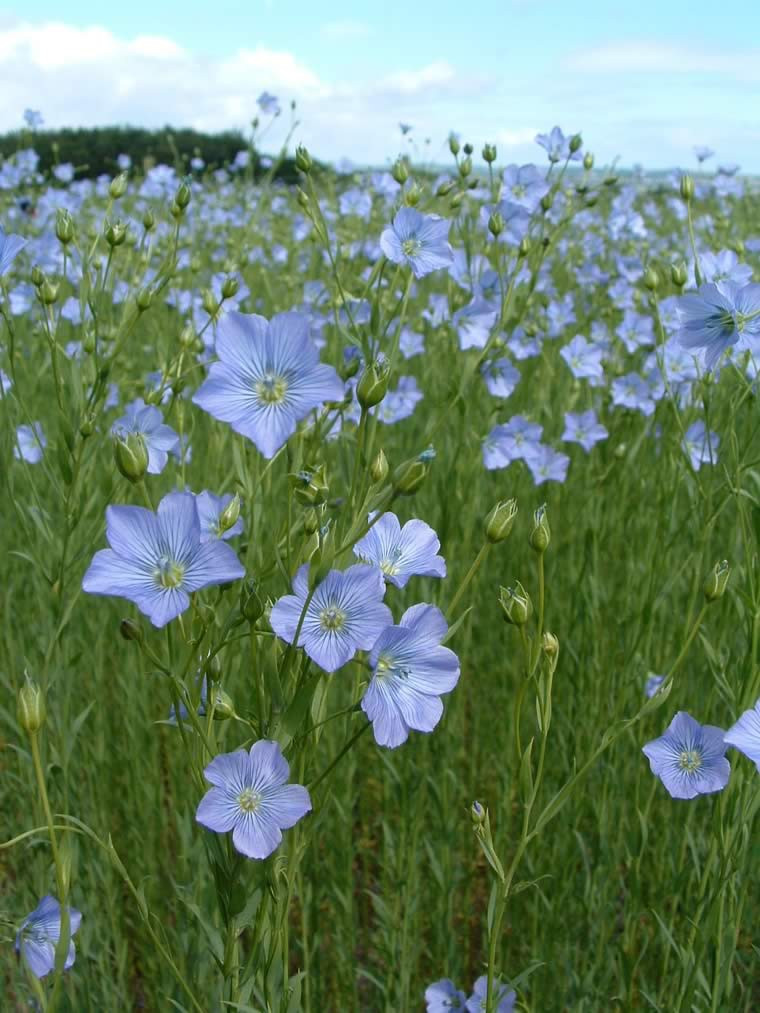 flax - linen - sustainable - plant life