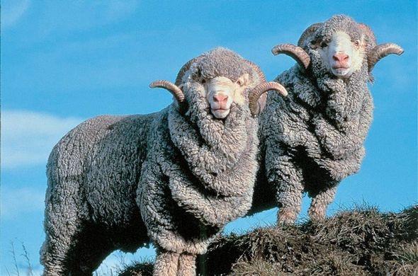 merino, wool, sheep, biodegradable, natural