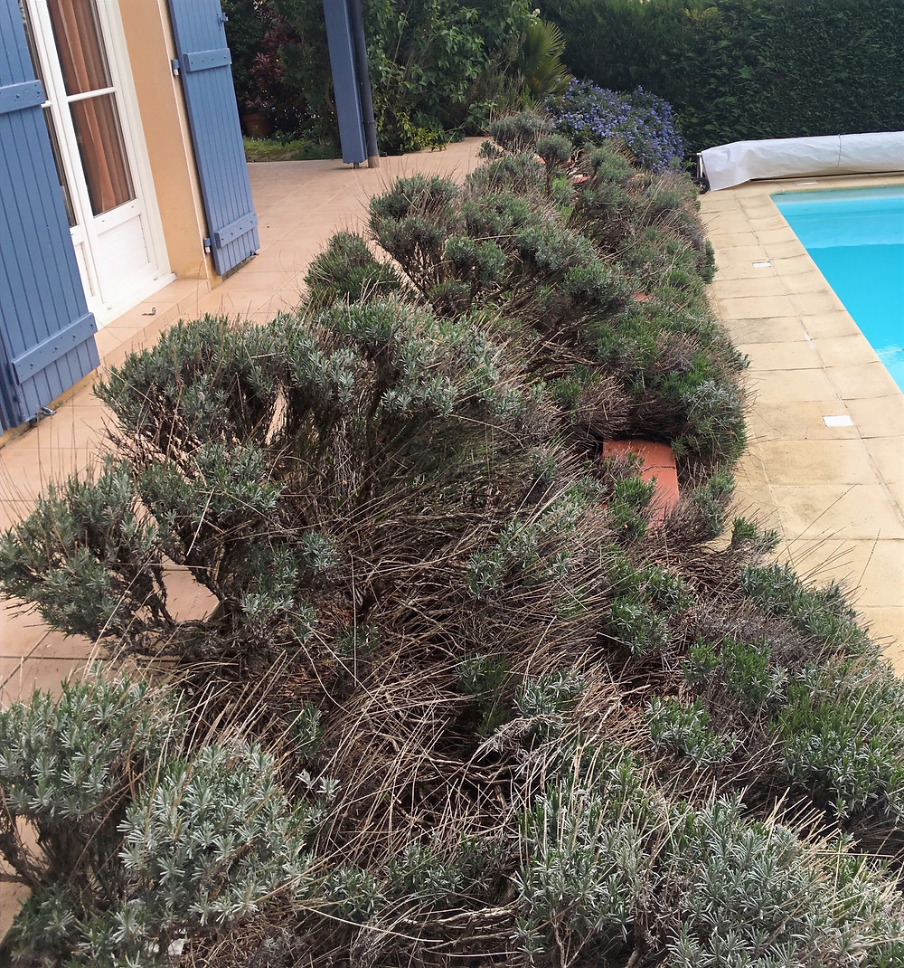 Massif d'arbuste