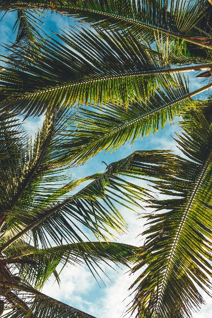 Palm Trees: The Symbol of Peace, Triumph And Victory