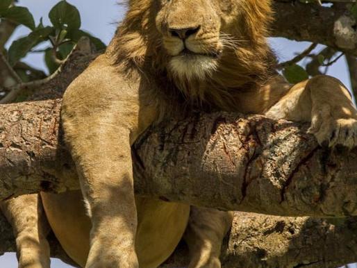 The tree climbing lions of Uganda's QENP.