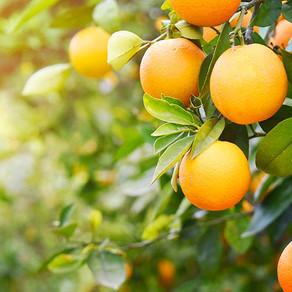 Апельсин горький