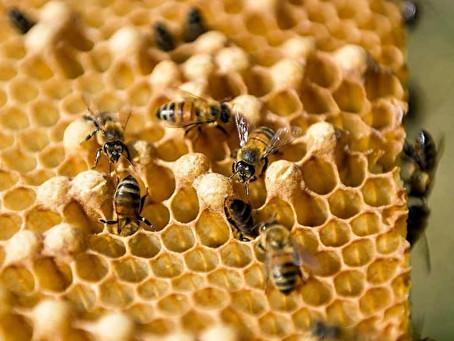 可提高免疫力? 瘟疫致麥蘆卡蜂蜜銷量大增
