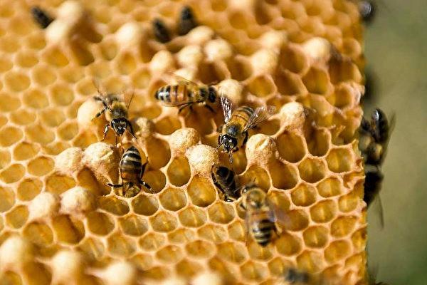 新西蘭 mānuka蜂蜜獲得有史以來最大的豐收。(圖片來自 YAMIL LAGE/AFP via Getty Images)