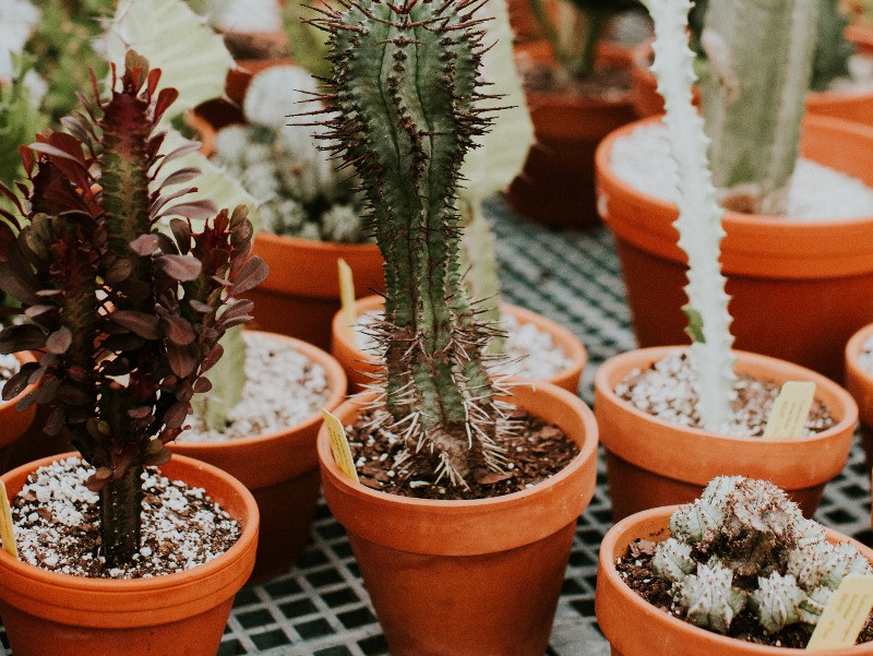 A variety of cacti in terra cotta pots