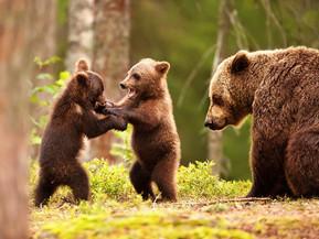 The Eurasian Brown Bear