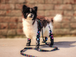 Walkee Paws Dog Leggings gives PAW-FECT protection for winter walks