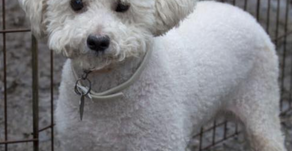 Calling all poodle people to meet Carolina Poodle Rescue!
