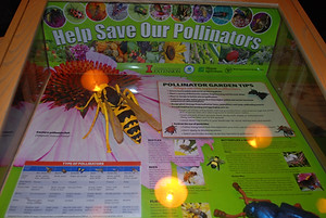 A display case about protecting pollinator species such as bees, a model of a bee at a large flower is included with tips for the garden and a list of types of pollinators. U. of Illinois Extension.