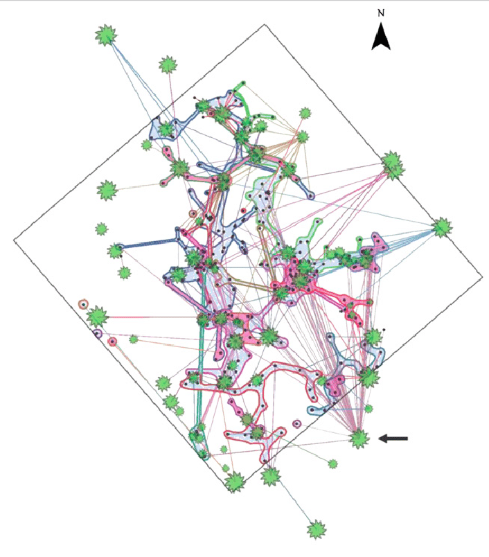 Simard et al. (2012) study looked at 30m x 30m plot of 67 Douglas Fir Trees (green shapes; size relative to tree diameter). Lines link tree roots to ectomycorrhizal Rhizopogon fungi. The most highly connected tree (shown by the arrow) was connected to 47 other trees through 8 R. vesiculus colonies and 3 R. vinicolor colonies.