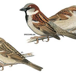 How the humble sparrow won my heart