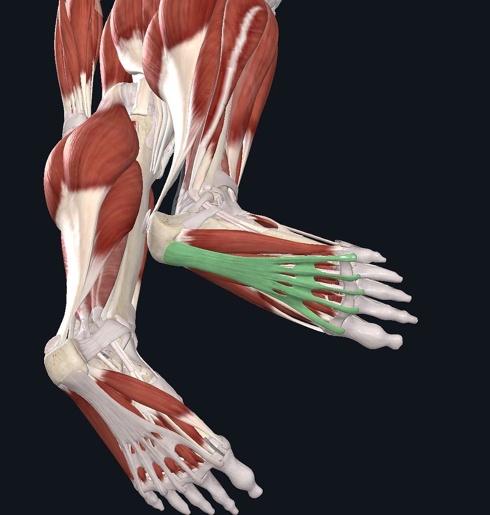 The plantar fascia covers the small intrinsic muscles of the feet and attaches to the connective tissue of the muscles in your calves.