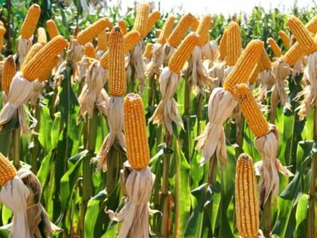 Valor das sementes do milho troca-troca é reduzido