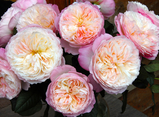For Color Trends, Look to Garden Roses