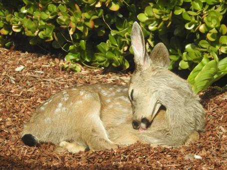 Fawn AM Snooze