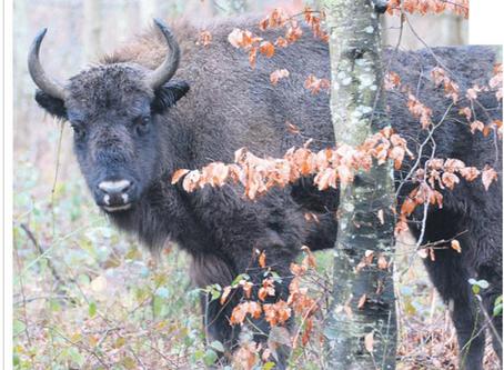 La Région : Des bisons en pleine crise de la quarantaine