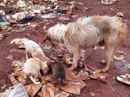 Dezenas de cachorros vivem no lixão de Ouro Preto e se alimentam de restos de lixo