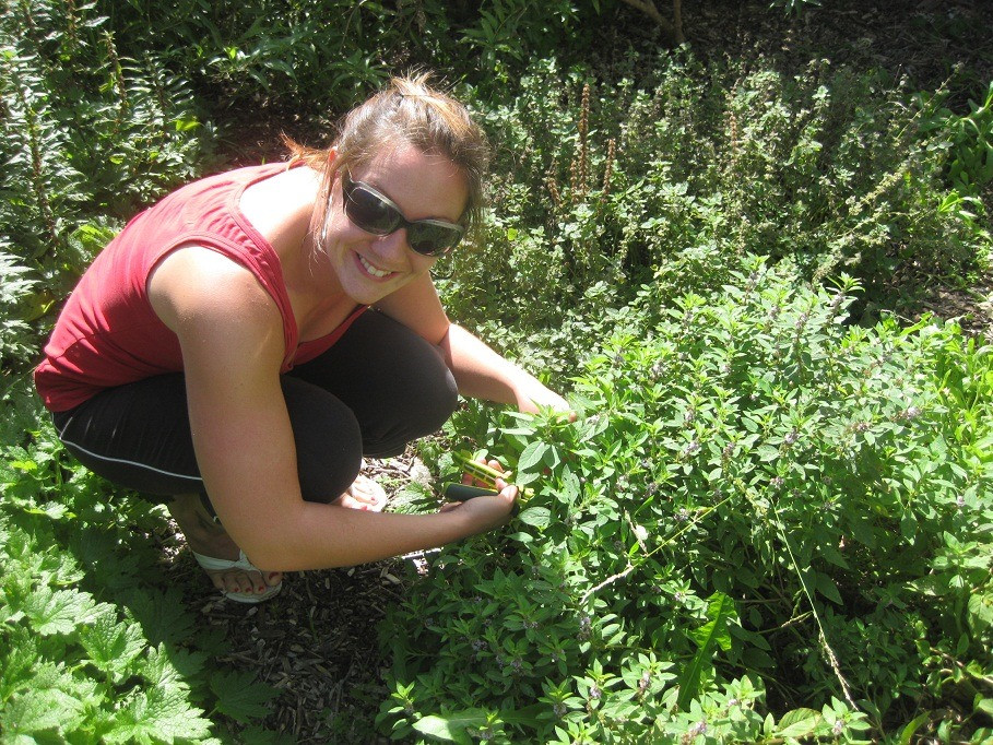 Harvesting herbs - Peppermint & Motherwort