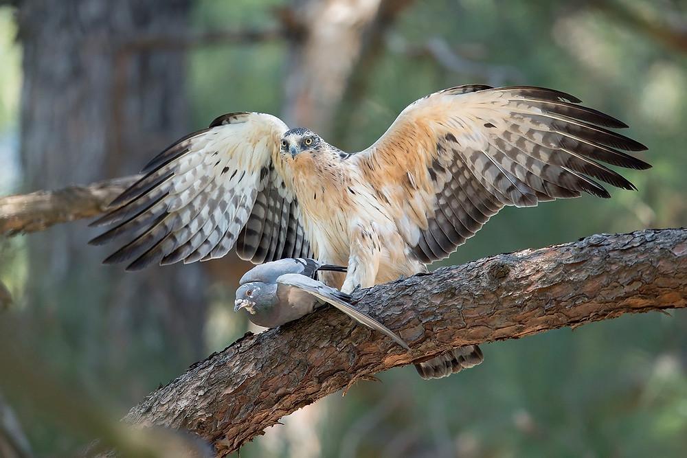 Ayres's Hawk Eagle