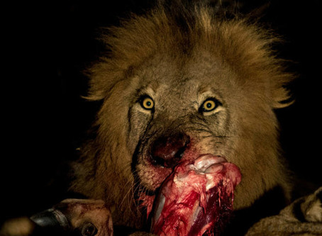Been there, done it... same area - but this compelling story heightened my awe and respect for lion