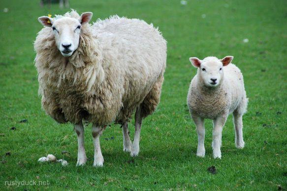 wool, sheep, biodegradable, natural material