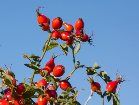 Rose hip syrup: A flavoursome source of nutrients