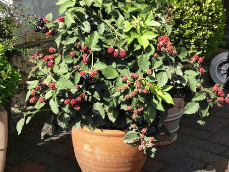 Plants365 releases an exclusive new patio blackberry
