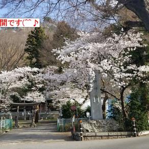 桜と花粉症  (^^♪ (>_<)