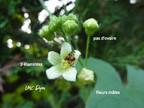 Bryone : Bryonia dïoica  Cucurbitaceae