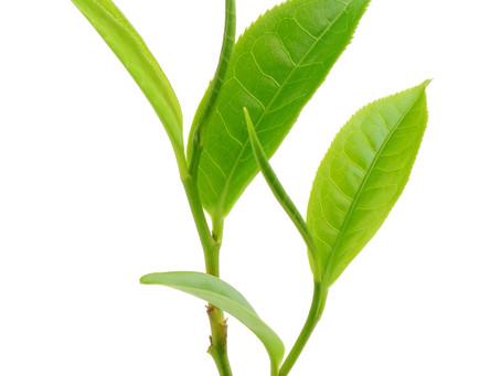 Le thé vert est un remède!, qui est à la fois une boisson culturelle et noble.