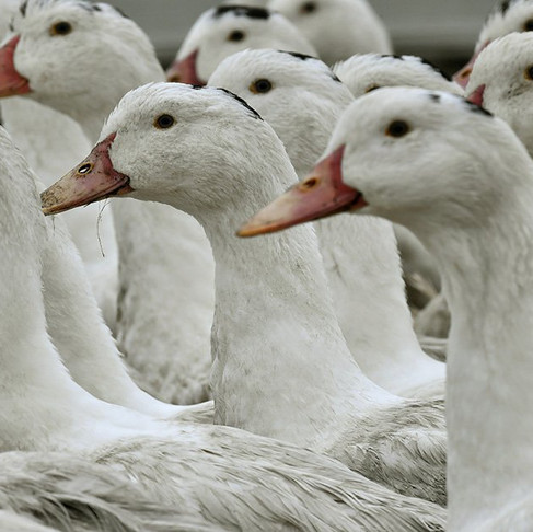 Top US Court Upholds California Foie Gras Ban
