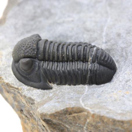 Breve Sussidiario per la Tua collezione di Trilobiti.