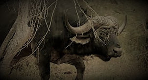 A Wounded Cape buffalo Is Not The Most Dangerous Animal