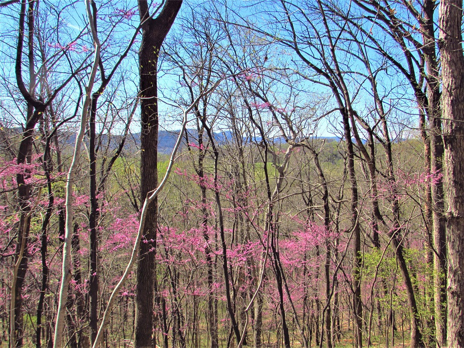 Red-buds welcome the hiker in early spring. They accent scenes as you hike along and view the horizon through leafless trees.