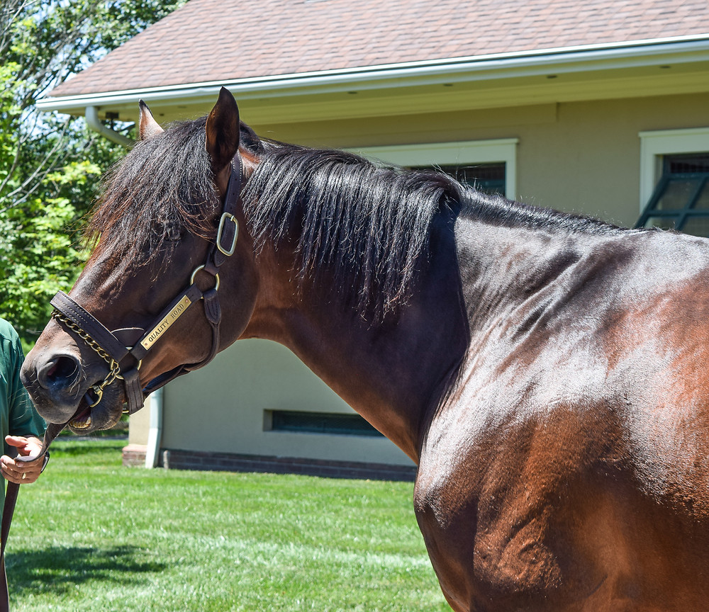 Thoroughbred racehorse and stallion Quality Road at Lane's End Farm in June.