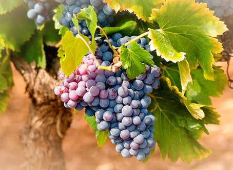 Jeudi saint : La prière de la vigne