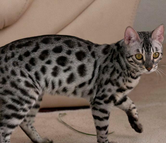 silver charcoal - kočka bengáslká
