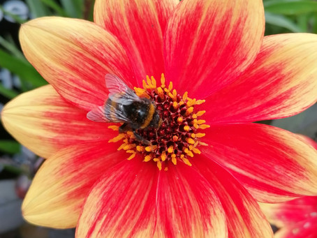 Gardening for Bees and other Pollinators