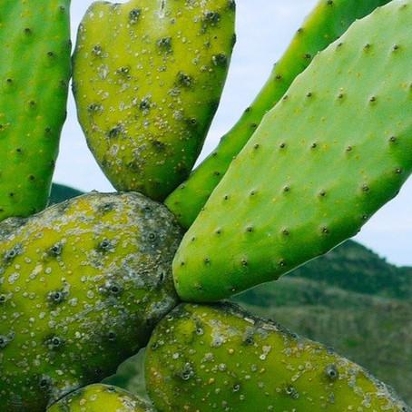 Top 10 des plantes pour terrains arides : l'opuntia