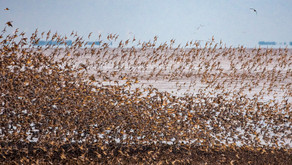 Introducing the Spring Global Shorebird Counts