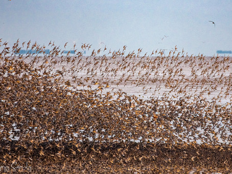 Introducing the Spring Global Shorebird Counts