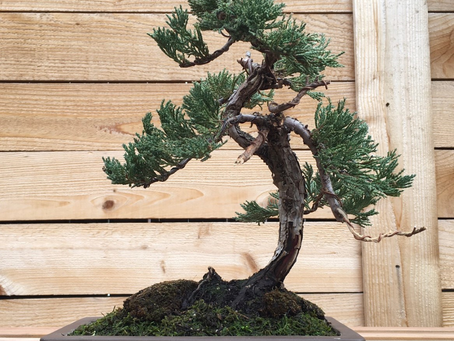 What are best bonsai species for beginners?
