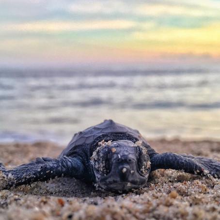 Amazing Sea Turtle Encounters On The US East Coast