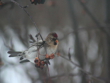 The return of the redpolls