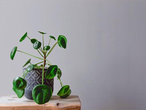Indoor Plant Spotlight: Pilea