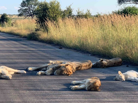Lazing Lions