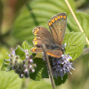 Brown Argus butterfly sighting