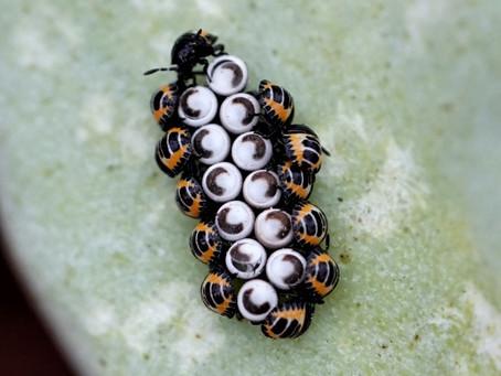 Quest for Harlequin Bug (Murgantia histrionica) eggs