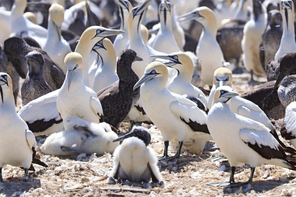 Kaptölpel Kolonie in Lamberts Bay, Südafrika