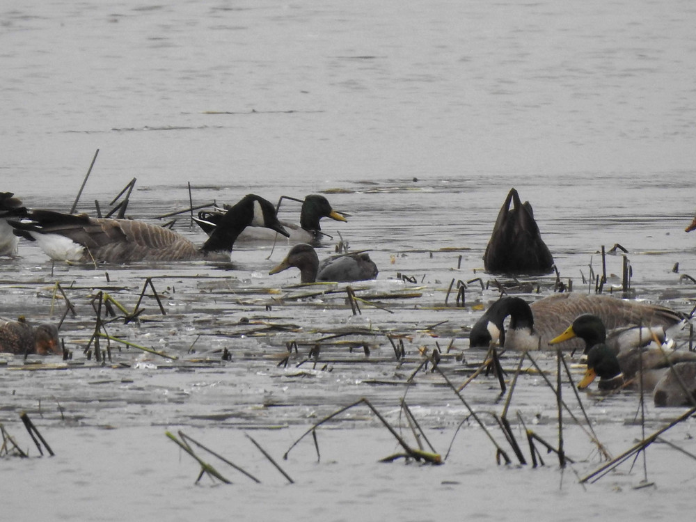 A few geese and ducks on Long Meadow Lake including two American Black Ducks